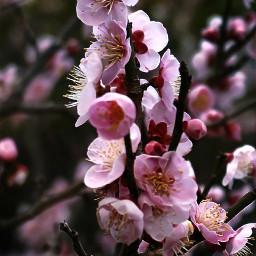 saturdayswag freetoedit prettyinpink blossom nightshot