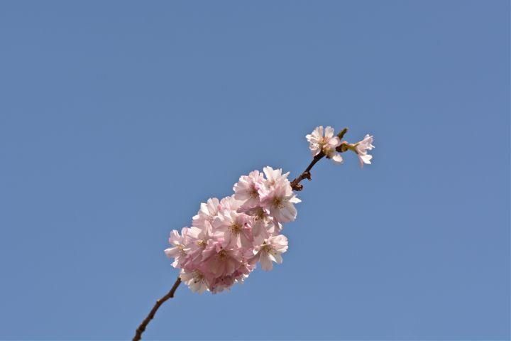 nature naturephotography cherryblossom minimal minimalism dpcinthecenter