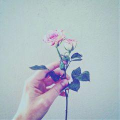 rose silence beauty freetoedit