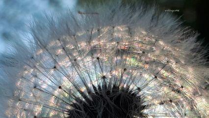 flower emotions nature spring dendalion