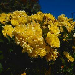 roses yellowflower street
