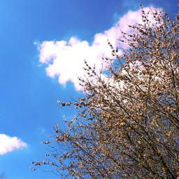 cherryblossom tree blossom sky